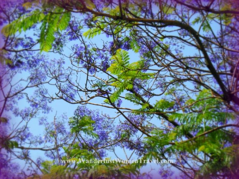 Sicilian Jacaranda trees